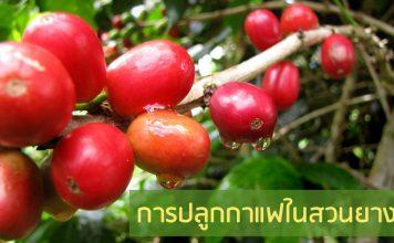 การปลูกกาแฟในสวนยาง