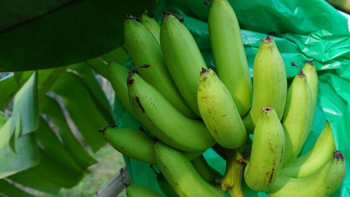วิธีการปลูกกล้วยหอมทอง