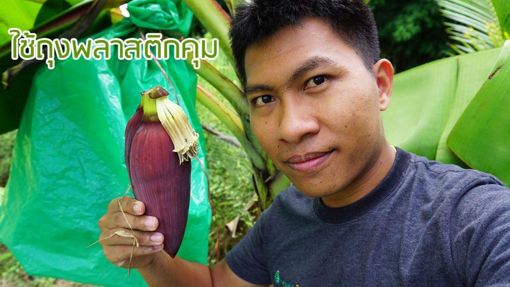 การปลูกกล้วยหอมทองอินทรีย์
