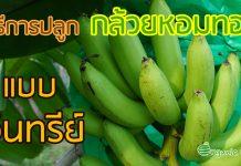 การปลูกกล้วยหอมทอง แบบอินทรีย์
